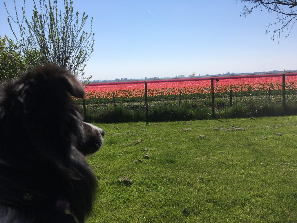 Mijn hondje Neri in het mooie Beemster. bij hondentrimsalon Beemster vlakbij Purmerend, Oosthuizen, de Rijp, middenbeemster, warder, avenhorn, schermer, hoorn, alkmaar, heerhugowaard, hobrede